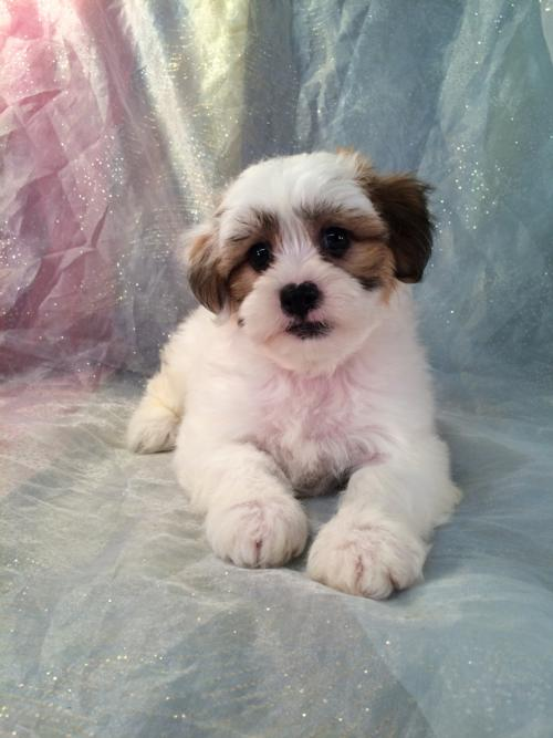 Teddy Bear Puppies for Sale!  Easy to Find Breeder in North Iowa. Looking for Shih tzu Bichon Puppies for Sale in WI,MN,IL, or MI?  Try Iowa's Top Dog Breeder!