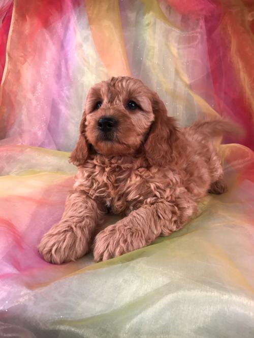 Male Miniature Goldendoodle Puppy for Sale $1500