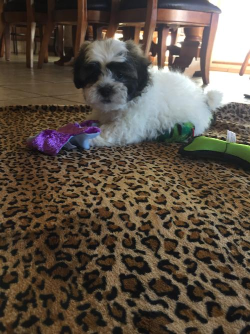 Available Male Shih tzu Bichon Puppy!  Very Cute Markings. Ready Now!