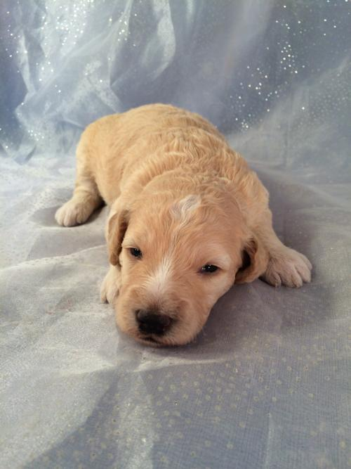 Cream and White Mini goldendoodle Pup for sale in North central Iowa