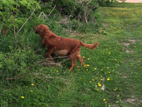 Meet our dark red Golden Retriever Marley, soon to be mother of dark red F1 Miniature Goldendoodle puppies!