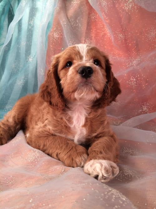 Red Male Cockapoo Puppy With White Blaze And White Feet For Sale $875