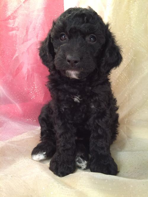 Black Miniature Goldendoodle Puppy For Sale Near Forest City In Northern Iowa.