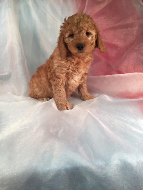 Ready Soon- Red Miniature F1b Goldendoodle Puppy for Sale!  Born 9-1-2016