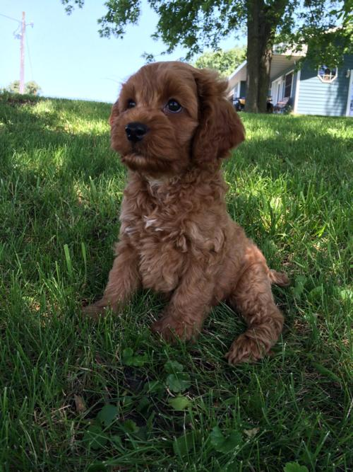 Red Cockapoo Male DOB 4-22-16 $875 Professional Breeder, Puppy for Sale.  Great Cockapoo Breeders for Buyers Located in Illinois, Wisconsin, Minnesota, Iowa, and Even Michigan!