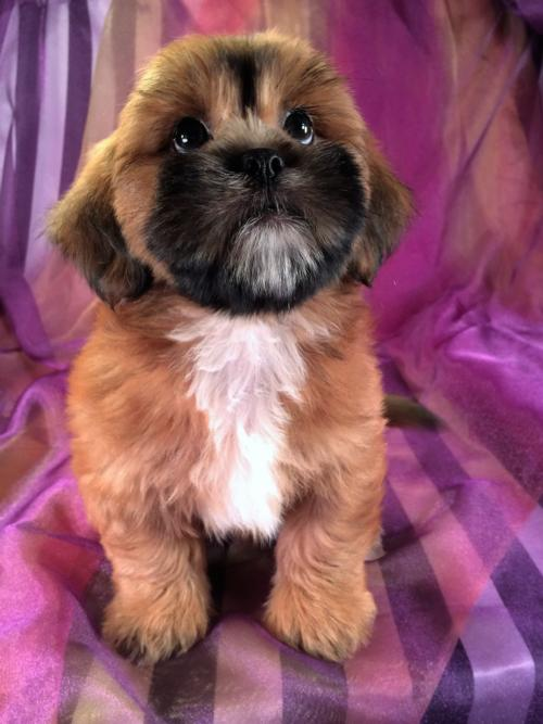 Male Lhasa Bichon Baby for sale!