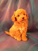 Male Poodle Bichon Puppy for sale #3 Born Feb. 5th 2013|Bichon Poos from Iowa Breeder are for sale|Ready April 2013