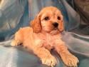Male Cockapoo Puppy for sale #12 Born February 18th, 2013|Purebredpups is a cockapoo Breeder Located in Iowa