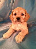 Male Cockapoo Puppy for sale #13 Born February 2013|Iowa Puppies for sale|Shipping only $150 to Fort Lauderdale FL and many More Major Airports