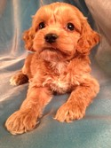 Male Cockapoo Puppy for sale #17 Born Feb. 18, 2013| Looking for a Great Cockapoo Breeder Near IA, MN, IL, or WI? You just found one!