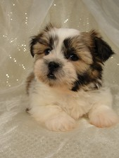 Male shih Tzu Puppy for sale #1 Born October 16th, 2011