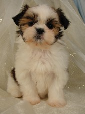 Female shih tzu puppy for sale #2 Born October 16th, 2011