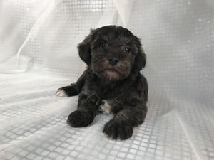 Black Mini Schnoodle Puppies for Sale