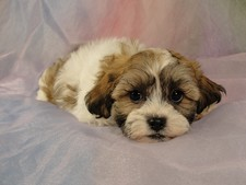 Female Shih tzu bichon puppy for sale #6 Born March 1st, 2012