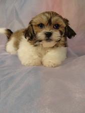 Female shih tzu bichon puppy for sale # 7 Born March 1st 2012