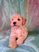 Male Bichon Poodle Puppy for sale Born August 1st 2014. Iowa's Top Dog Breeder has a Perfect Poochon at a Perfect Price $675