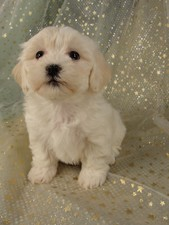 Female Lhasa Bichon Puppy for sale #8 Born December 7, 2011