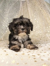 Female Lhasa Bichon puppy for Sale in Iowa #4 Born December 7, 2011