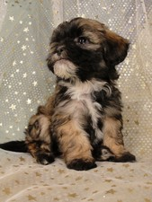 Male Lachon(Lhasa Bichon) puppy for sale #2 Born December 7, 2011
