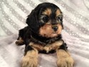 Female Black and Tan Cavachon Puppy for sale Summer of 2012
