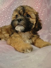 Female Teddy bear puppies for sale Puppy #16 Born September 15, 2011