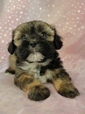 Male Lhasa Bichon Puppy for sale #11 Born September 15, 2011