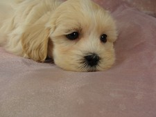 Male Lhasa Bichon (Lachon) puppy for sale #9 Born September 15, 2011