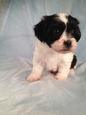 Male Black and White Shih Tzu Bichon Puppy for Sale