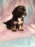 Black Female Lhasa Bichon Puppy for sale-Iowa Breeder