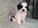 Male Lhasa Bichon Teddy Bear Puppy for Sale #1 DOB 3-1-15 Teddy Bear Puppies are Ready Now!  Easy drive for IL, MN and WI.
