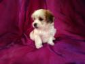 Female Lhasa Bichon Teddy bear breeders with puppies for sale now! Illinois and Wisconsin is a short trip!