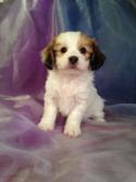 Are you looking for the best teddy bear breeder?  Let Brian and Karen help find the Lhasa Bichon or Shih tzu Bichon puppy of your dreams!