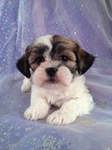 Female Teddy bear puppy for sale #12|Teddy bear breeders in Pennsylvania will likely charge more than Purebredpups for teddy bear puppies
