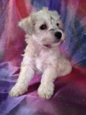 Schnoodles for sale by Schnoodle Breeders in Los Angeles will most Likely Cost More than Puppies at Purebredpups!