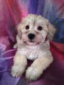 California Schnoodle Breeders Who buy Schnoodle Puppies at Purebredpups will receive shipping for only $150.