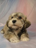 Male schnoodle puppy for sale #27 Born March 20, 2012