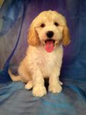 Male F1b Miniature Goldendoodle Puppy for sale #3 Ready by May 2015!
