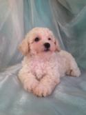 Cream Male Bichon Poo for sale DOB 6/29/15 $875
