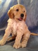 Male, Cream, Mini Goldendoodle Born Sept. 7th 2015 Ready Nov. 5th 2015