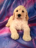 Male Standard Poodle Puppy for sale #12 Born February 20th 2013|Ready April 15th 2013|Iowa Standard Poodle Breeder with Puppies for sale