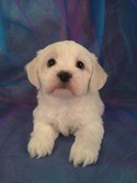 All White Teddy bear puppies for sale for less than most teddy bear Breeders From North Carolina|Male Teddy bear puppy for sale #14