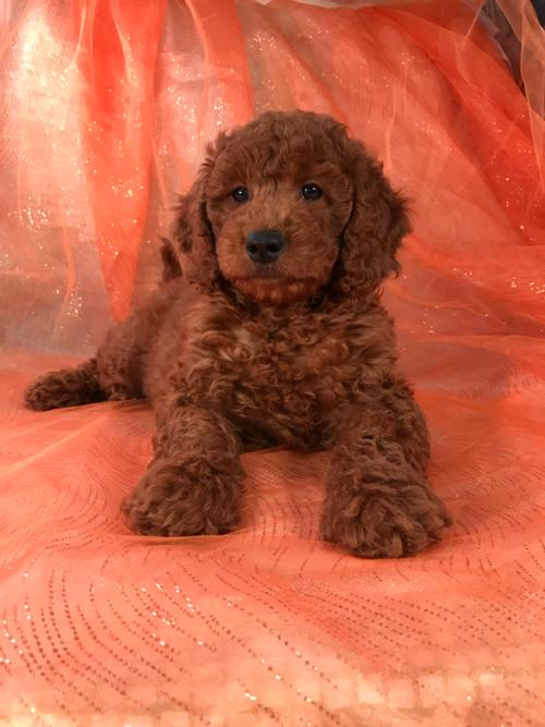 Dark Red Mini Goldendoodle Puppies For Sale!  Perfect Dog Breeder For Wisconsin, Iowa, Minnesota, and Illinois!