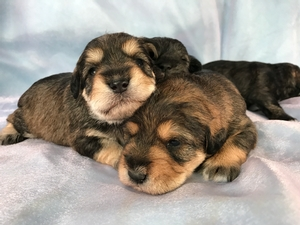 Two Male and Two Female Tri Colored Miniature Schnoodles