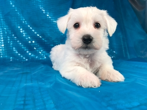 White Male Miniature Schnoodle Puppy for Sale DOB 8-21-2017 $950