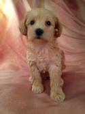 Female Miniature Apricot Schnoodle Puppy for Sale DOB 9-10-15 $950