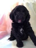 Born 9-25-15 Female Black Miniature Goldendoodle For Sale in Iowa Near Minnesota