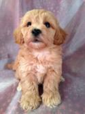 Male Apricot Miniature Schnoodle Pup for sale #4 Born 8-22-13  Schnoodles can be shipped by air for only $150.