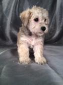 Male schnoodle Puppy for sale #4 DOB 10-20-13 Breeders of schnoodles in Maine and New Hampshire tend to charge double the Purebredpups price for shipping schnoodles