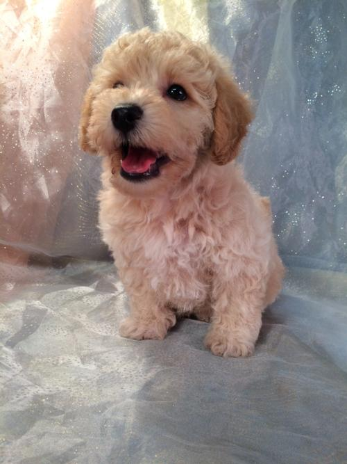 This Apricot Bichon Poodle Puppy Is Ready to Go Home!