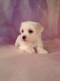 Female Bichon Lhasa Puppy for sale #3 DOB 3-10-14 $675 Teddy bear breeders Located in Iowa! Thats Purebredpups.com- Bookmark it!